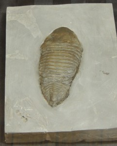 trimerus delphinocephalus